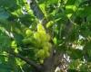 Heboh, Pohon Melati Berbuah Anggur Gegerkan Warga Pati