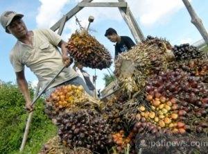kelapa-sawitt