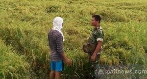 Disapu Angin Kencang, Tanaman Padi Siap Panen di Desa Angkatan Kidul Roboh