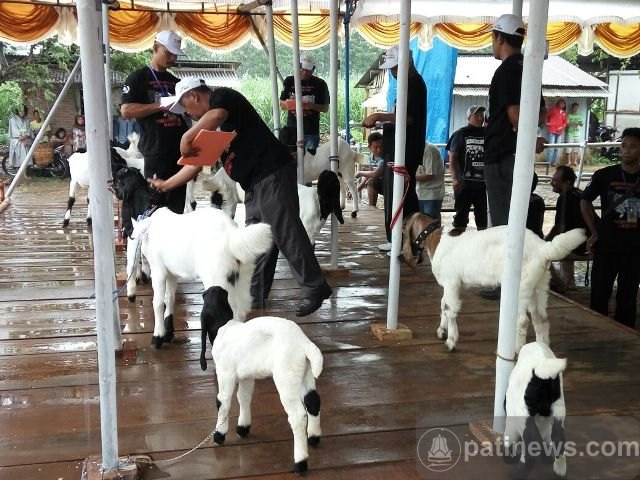 Kontes Kambing Kaligesing se Karesidenan Pati Digelar di Tayu