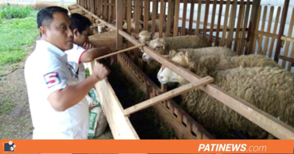 Wakil Bupati Optimis, Kabupaten Pati Jadi Sentra Peternakan Domba