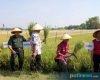 Farmers Field Day, Dorong Modernisasi Pertanian di Tawangharjo Wedarijaksa