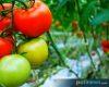 Tomat Sayur Atau Buah Tomat?