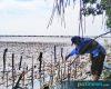 Cegah Abrasi, Mahasiswa KKN UIN Walisongo Tanam Mangrove di Pesisir Demak